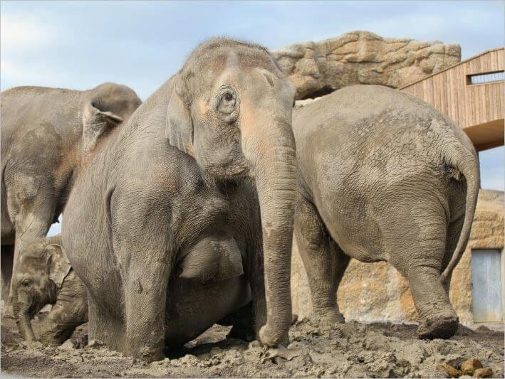 tier die mit elefanten verwandt sind